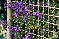 HFF - Frühlingsgrüße (J.Weyerhäuser) Tags: blumen fencedfriday frühling hff zaun