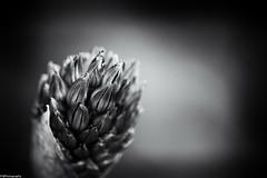 spring b&w (fhenkemeyer) Tags: flower blossom nature spring bw