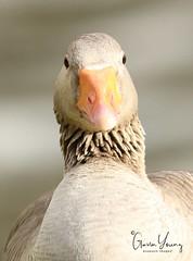 Egyptian Goose Portrait (Gavin E Young) Tags: egyptian goose bird portrait canon 5ds