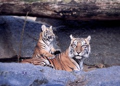 Happy Mother's Day! (pianocats16) Tags: tiger mom cub baby cute zoo tierpark