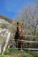 Sad horse @ Hike to Montagne de la Mandallaz & Lac de la Balme de Sillingy (*_*) Tags: 2019 printemps spring savoie afternoon march annecy 74 hautesavoie france europe sunny hiking mountain montagne nature walk marche jura mandallaz animal horse cheval randonnee sillingy