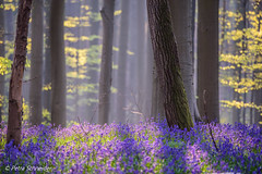 Playing with light in the bluebell forest (Petra S photography) Tags: bluebells bluebellseason hallerbos boisdehal wood sunlight beautifullight belgium belgien hasenglöckchen bluebellforest jacinthes waldhyazinthen