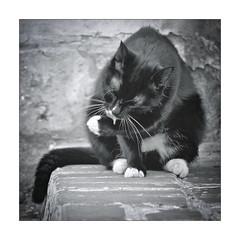 body care (Armin Fuchs) Tags: arminfuchs cat stpetersburg russia animal square bodycare street miaou
