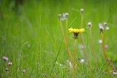 Dandelion (Löwenzahn, Taraxacum) (Manfred_H.) Tags: nature plants pflanzen flower blumen blüten blossom wildblumen wild löwenzahn dandelion taraxacum wiese meadow