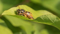Early morning resting wasp (maf863) Tags: canon canon7dmk2 canonef100400mmf4556lisiiusm garden wasp wildlife 7dmk2
