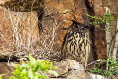 .... und das Muttertier (divertom68) Tags: deutschland germany nordrhein westfalen nrw ruhrgebiet ruhrpott steinbruch uhu küken mutter diealte wildlife natur vogel bird greifvogel eule m42 adaptiert danubia 400mm