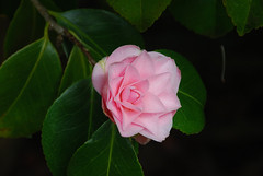 Camelia (Errols Cuz) Tags: flowers nature salterbridgehouse cappoquin countywaterford ireland teresaflynn camelia