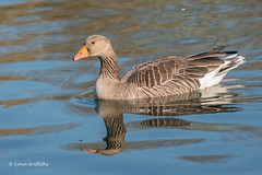 Greylag Goose 501_7364.jpg (Mobile Lynn) Tags: wildfowl greylaggoose nature birds geese anseranser anseriformes bird fauna wildlife estuaries freshwater lagoons lakes marshes ponds waterfowl webbedfeet hurst england unitedkingdom