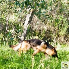 German shepherd (Allevamento Casa Caligiani) Tags: germanshepherd dog pastoretedesco cane gsd schäferhund