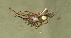 New family (Beth_Kin) Tags: arachnid theridiidae cryptachaeasp eggsac mother babies shedwall perth wa