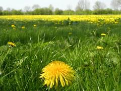 Dandelion field (simonpfotos) Tags: paardenbloem dutchlandscape