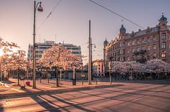 Gothenburg Hanami part V (Fredrik Lindedal) Tags: hanami cherryblossom streetview street gothenburg göteborg järntorget sky skyline sunlight sunrise trees lindedal