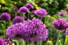 Allium (Sierui) (ToJoLa) Tags: 2019 canon canoneos60d lente voorjaar spring nature natuur bos wood natuurgebied naturetrail colors colour kleuren dekempen noordbrabant zon allium sierui pink paars flower eersel insekt