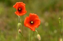 Poppy (klaproos) (ToJoLa) Tags: 2019 canon canoneos60d lente voorjaar spring nature natuur bos wood natuurgebied naturetrail coloure colors colour kleuren dekempen noordbrabant zon rood eersel poppy klaproos