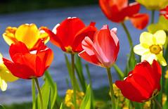 spring-is-here (elmar theurer) Tags: pflanze plant blume flower natur nature blüte blossom bloom florescence beauty biologie foto tulpen tulip flora pink blumen flowers blooming hell fruehling fruehjahr spring frühling