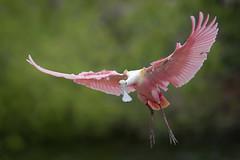 Roseate Spoonbill (Greg Lavaty Photography) Tags: roseatespoonbill plataleaajaja texas march highisland houstonaudubon sanctuary smithoaks galvestoncounty flight pink birdphotography outdoors bird nature wildlife