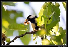 Mésange charbonnière (Parus major) (cquintin) Tags: chordata vertebrata aves passeriformes paridae parus major mésange charbonnière
