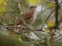Common-Nightingale_megarhynchos_Walberswick-Suffolk-UK_11-5-19_Nik-Borrow-1 (nik.borrow) Tags: bird nightingale walberswick