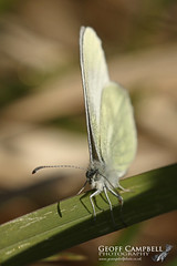 Cryptic Wood White (Leptidea juvernica) (gcampbellphoto) Tags: cryptic wood white leptidea juvernica butterfly insect nature wildlife macro ireland irish gcampbellphoto