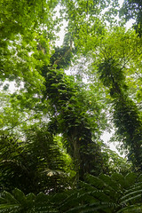 Tropical Climb to the Sky (Triple_B_Photography) Tags: indonesia bogor java canon eos 7d 2018 holiday travel tourism tourist tropical daun leaf leaves trees pohon