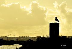 Abriendo el pico... (ZAP.M) Tags: marisma aves atardecer puestadesol chiclana cádiz andalucía españa flickr zapm mpazdelcerro nikon nikond5300 silueta contraluz