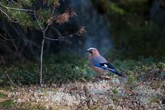 20190419-DSC_5760.jpg (Anssi Takala) Tags: garrulusglandarius bird jay lintu närhi