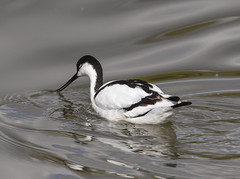 It's a bit cool in here (Grumpys Gallery) Tags: avocet birds wildlife nature
