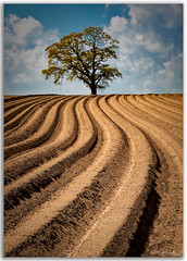 Lone Tree (peterwilson71) Tags: beautiful clouds field plough lines earth horizon hills sky leaves landscape light nature outdoors old travel tree