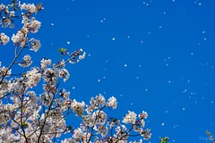 Flurry of cherry blossoms (takapata) Tags: sony sel90m28g ilce7m2 macro nature