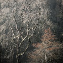 All the leaves are brown and the sky is grey (Rob Scamp) Tags: trees tree woodland woods morning mist misty herefordshire robscamp naturallight availablelight winter nikon df dawn