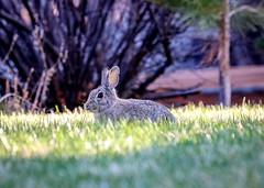 Easter's Coming (dndj2014) Tags: bunny rabbit backyard wildlife colorado coloradowildlife canon canont6i unlimitedphotos outdoors spring