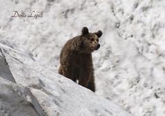 Ursus Arctos (diegomaradonatuapse) Tags: бурыймедведь ursusarctoscaucasicusmeridionalis ursusarctos bear russia nikond7200 sigma150600contemporary sigma150600 гораамуко сочинскийнацпарк