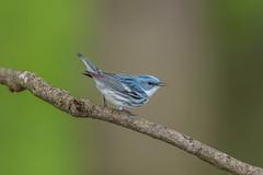 Cerulean Warbler (Joe Branco) Tags: photoshop lightroom birds bird branco joe ohio joebrancophotographer nikon green