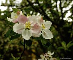 DSCF0125ps (DrOpMaN®) Tags: flowersplants fuji fujifilm fujinon fujinonsuperebc23mmf2asph lightroomclassiccc x100t m43turkiye