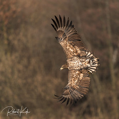 White-tailed Eagle! (Jambo53 ()) Tags: juvenile whitetailedeagle crobertkok nikond800 nikon500mmf4 autumn herfst spreadwings wings nature wildlife roofvogel raptor birdofprey adelaar arend