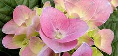pink Hydrangea, at garden store (Martin LaBar) Tags: southcarolina pickenscounty hydrangea