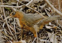 Rusty cheeked scimitar babbler (Blue wing photography) Tags: rusty cheeked scimitar babbler fantasticnature awsomenature birds