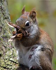 Red Squirrel (Arvo Poolar) Tags: outdoors ontario canada scarborough arvopoolar nikond500 nature naturallight natural naturephotography redsquirrel female perched tree wildlife wildlifephotographer animal