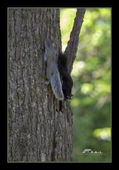 Tree highway (the_coprolite) Tags: squirrel kits coquitlam bc britishcolumbia canada nikon d750 sigma 150600mm