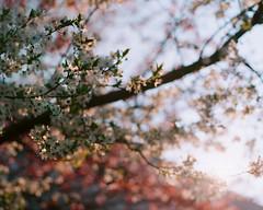 Coming Forth (anauhu) Tags: landscape nature blossom flower tree outside sundown sunset prime analog film 6x6 hasselblad 500cm mediumformat analogue noritsu scan portra kodak 80mm planar sky