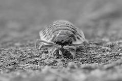 woodlice copy copy- on1 (douglasjarvis995) Tags: woodlouce woodlice crustacean bug insect macro close pentax k1 100mm woodlouse