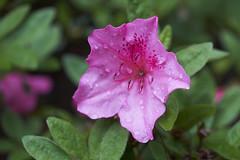 DEEEEP Pink Azalea (Modkuse) Tags: azaleas flower flowers art artphotography photoart fineartphotography fineart nature natural provia fujiprovia fujifilmxt2provia fujifilmxt2proviasimulation macro macrophotography macrolens macroflower 80mm 80mmmacro xf80mmf28rlmoiswrmacro fujinonxf80mmf28rlmoiswrmacro fujifilm fujifilmxt2 xt2 fujinon