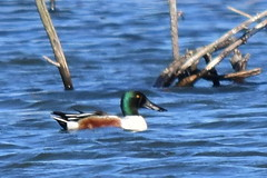 Northern Shoveler Duck, Anas clypeata, male (2) (Herman Giethoorn) Tags: northernshoveler duck waterfowl bird