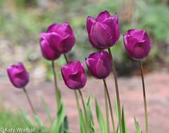 Array (Katy Wrathall) Tags: garden spring tulip eastriding englandeastyorkshire purple 2019pad 2019 109365 april