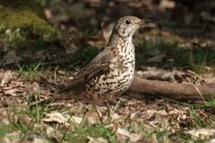 Mistle Thrush (Johnchess) Tags: richmondpark fridaybirdgroup 19april2019