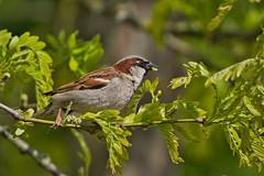 Haussperling (heiko bo) Tags: heikobo thüringen tiere vogel einfachschön artenschutz artenvielfalt spatz haussperling feldsperling artensterben heimat umwelt lebewesen schützemswert gefährdungdurchpestizide naturerleben lebensraum