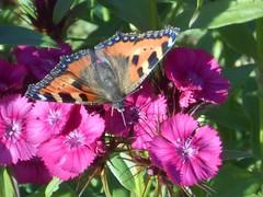 Bon appétit ! (Sur mon chemin, j'ai rencontré...) Tags: nature papillons butterflies fleurs flowers aglaisurticae lapetitetortue nymphalidae lunules orties
