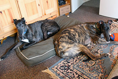 Cody and Casey sharing the dog bed (rgdaniel) Tags: dog dogs greyhound