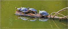 Red Eared Sliders ~ Paint (jerrywb2010) Tags: lmc pittsburgca communitycollege onawalk lakeshore spring fauna sfbayarea eastbay contracostacounty turtles topazimpression topazfilters digitalrendering
