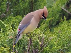 Cedar Waxwing (ugeiser) Tags: illinois birds waxwings